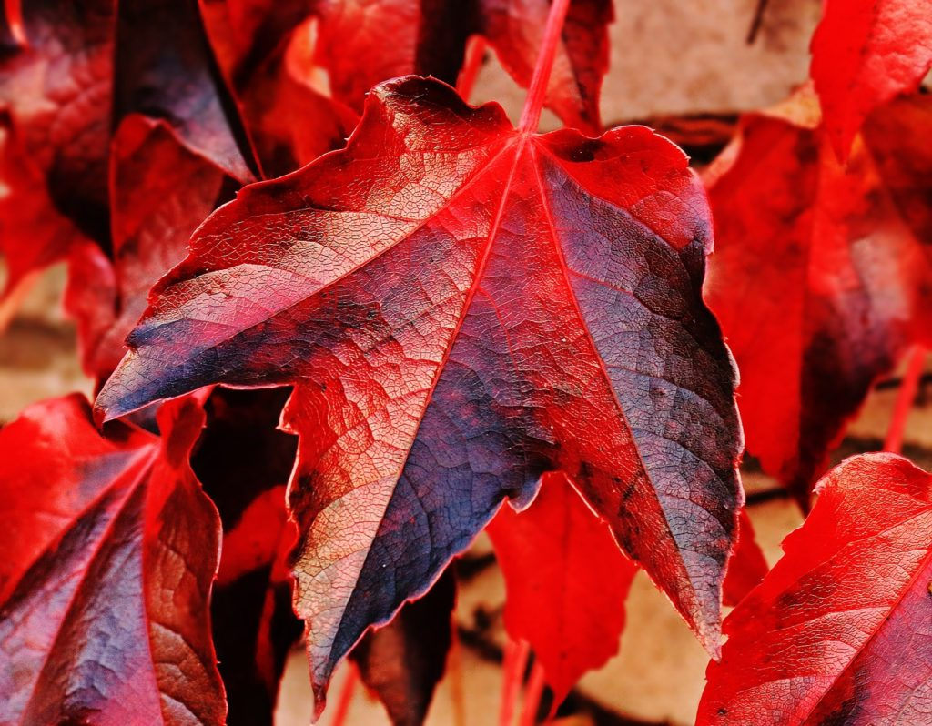 Closeup of red maple leafs showing fall colors